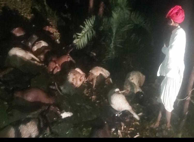 सुमेरपुर क्षेत्र मे बिजली गिरने से मरी भेड़-बकरियां।
