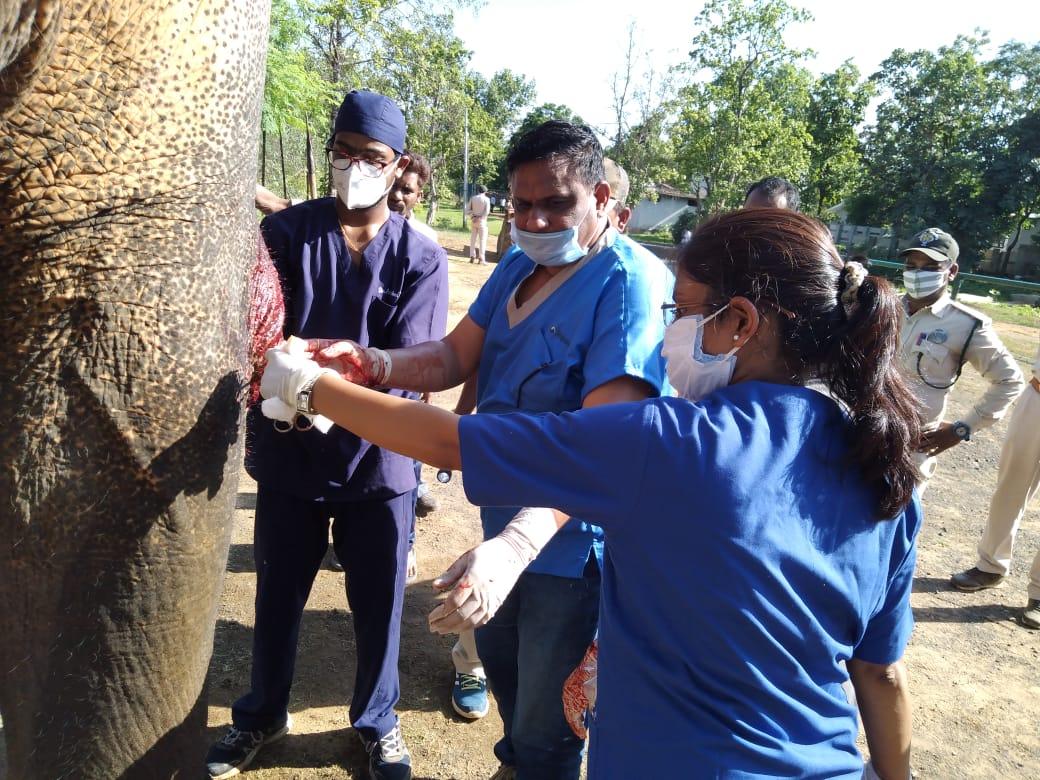 हाथी की सर्जरी करती टीम।
