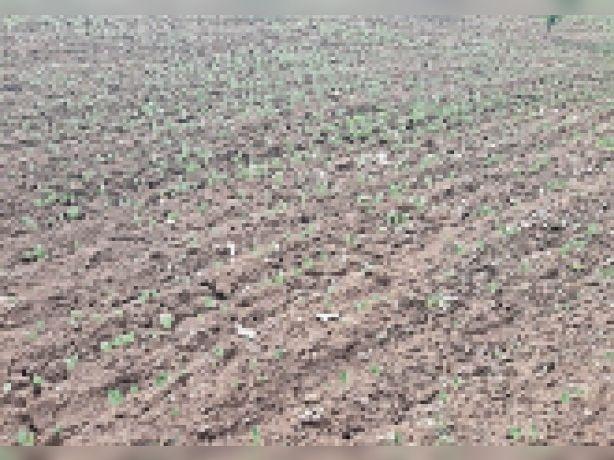 बारिश के अभाव में खेतों में अंकुरित फसलें सूखने लगीं। - Dainik Bhaskar
