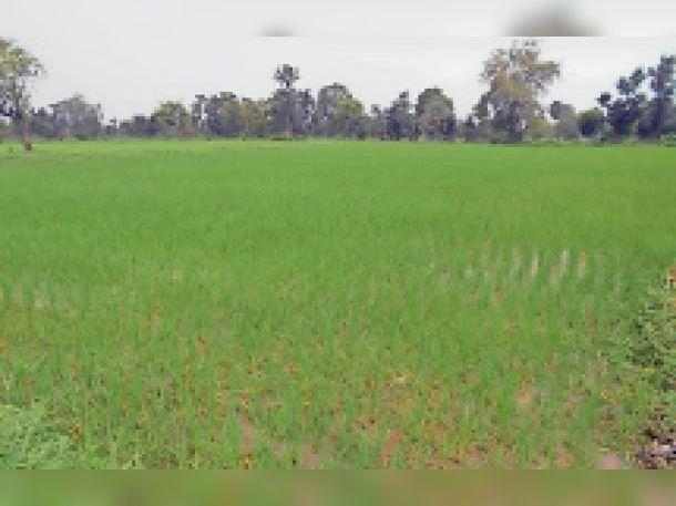 पानी के अभाव में सूख रही भितरवार रोड पर खेत में खड़ी धान की फसल। - Dainik Bhaskar