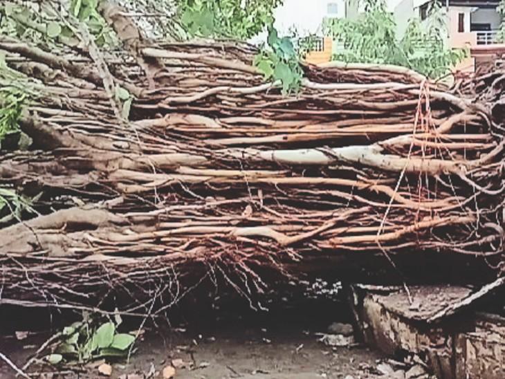 तेज हवा और बारिश के असर से तलवंडी क्षेत्र में गिरा बरगद का पेड़।