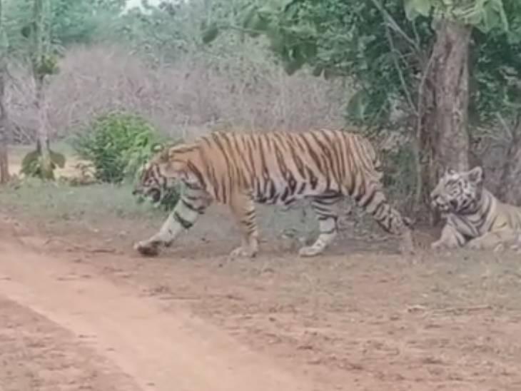 बारिश के मौसम में हरे-भरे हुए जंगल, अठखेलियां करते दिख रहे टाइगर और तेंदुए समेत जंगली जानवर|इंदौर,Indore - Dainik Bhaskar
