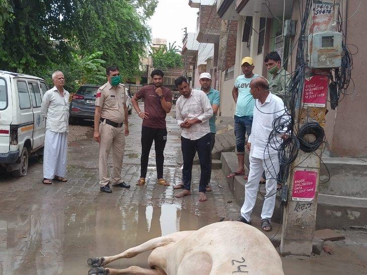 सुभाष नगर में बीच सड़क पड़ी बिजली का करंट लगने से मरी गाय। - Dainik Bhaskar