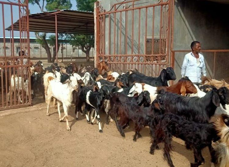 कटने वाले बकरों को खरीदकर 225 बीघा खेत को बनाया बकरों का घर, अब तक 400 की बचा चुके हैं जान|राजस्थान,Rajasthan - Dainik Bhaskar