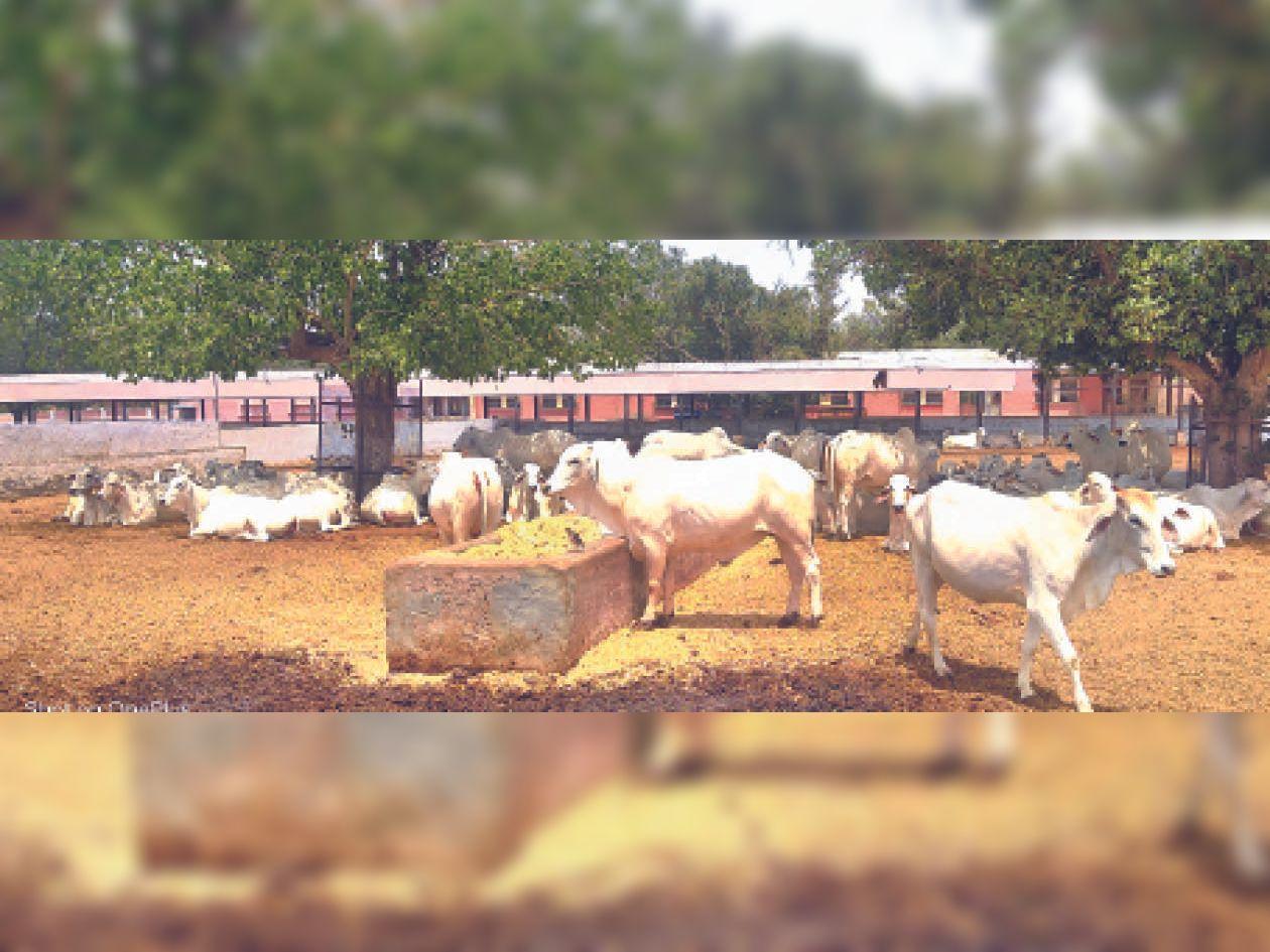 अब आईवीएफ से देसी गाय पैदा करेगी थारपारकर नस्ल के बछड़ा-बछड़ी|श्रीगंंगानगर,Sriganganagar - Dainik Bhaskar