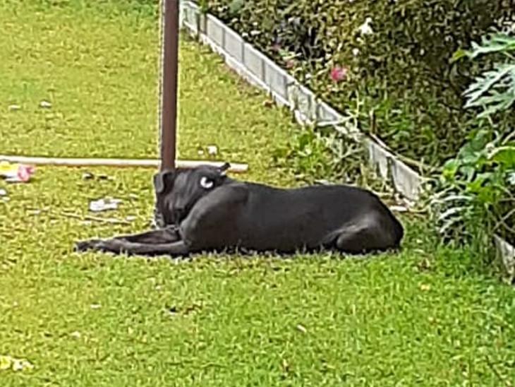 घर के गार्डन में मौजूद पिट बुल नस्ल का डॉग, जिसने विशाल पर हमला किया।