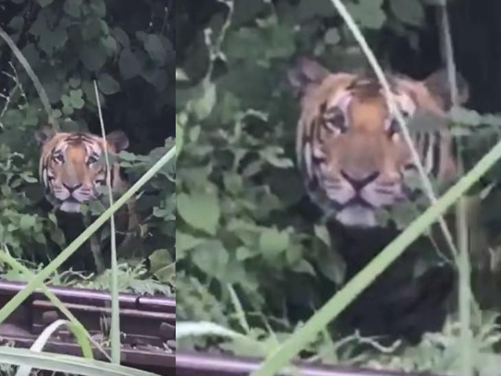 दुधवा नेशनल पार्क के जंगल में बैठे बाघ के पास पहुंचा युवक, बोला- 'हैलो ब्रदर'; अनोखे ढंग से मिला जवाब|लखनऊ,Lucknow - Dainik Bhaskar