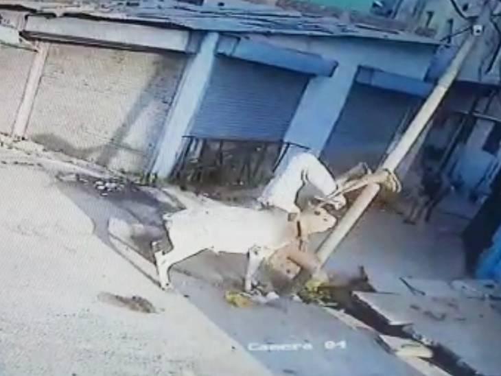 सागर में बुजुर्ग को उठा कर पटका, हालत गंभीर; जबलपुर में खेत में काम कर रहे किसान पर सांड का हमला, 22 दिन बाद अस्पताल में मौत|जबलपुर,Jabalpur - Dainik Bhaskar