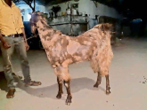 बकरीद पर बाजार में 31 हजार में बिक रही खस्सी रामगढ़ (रांची),Ramgarh (Ranchi) - Dainik Bhaskar