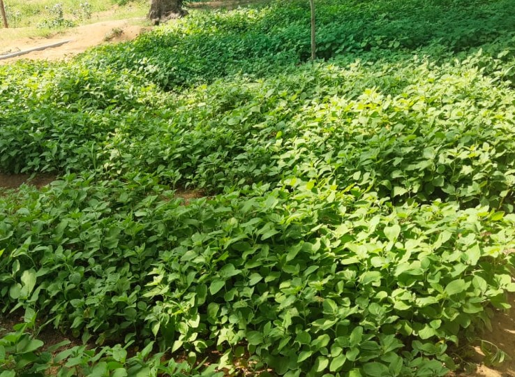 वन विभाग ने पौधे किए तैयार, थैलियों में भरना शुरू; हर परिवार को मिलेंगे 8 औषधीय पौधे, अगस्त के पहले सप्ताह में वितरण शुरू होने की संभावना नागौर,Nagaur - Dainik Bhaskar