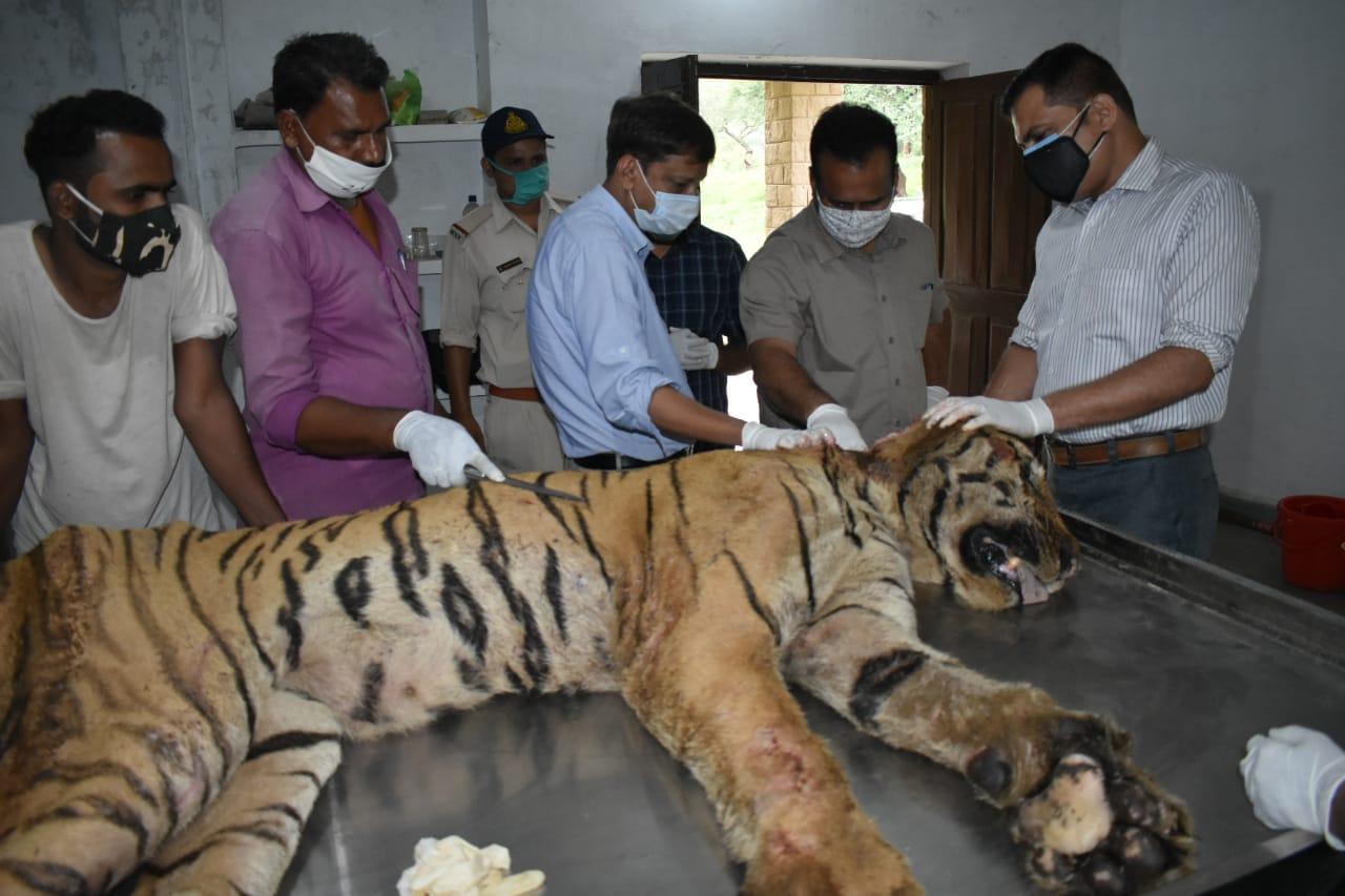 पेंच टाइगर रिजर्व से 13 जुलाई को लाया गया था बाघ टी-11, गर्दन और पीठ भी थे गंभीर घाव|भोपाल,Bhopal - Dainik Bhaskar