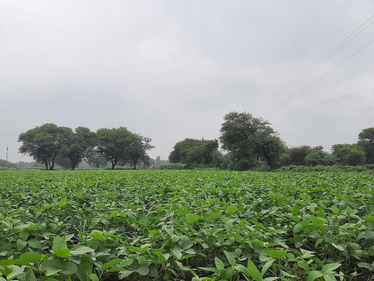 मंगलवार रात हुई बारिश से फसलों को मिली राहत,24 घंटो में जिले में आधा इंच बारिश , झमाझम बारिश का अब भी इन्तजार|रतलाम,Ratlam - Dainik Bhaskar