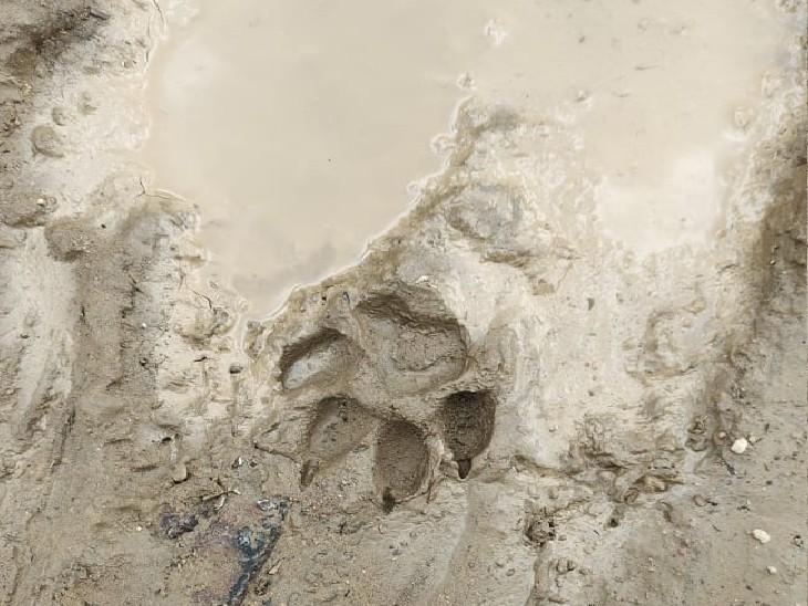 घोसीपुरा में 9 बकरियां, एक भैंस के बच्चे को हमला कर मार दिया, पंजे के निशान से लग रहा तेंदुआ, वन विभाग बोला स्पष्ट नहीं|ग्वालियर,Gwalior - Dainik Bhaskar