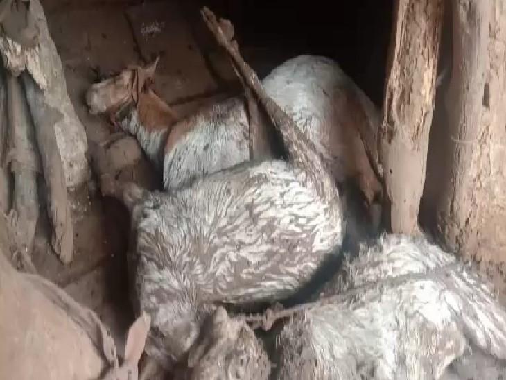 घोसीपुरा में किसान मानसिंह पाल के खेत में पड़े मवेशी, जिन पर किसी जंगली जानवर ने हमला किया है,