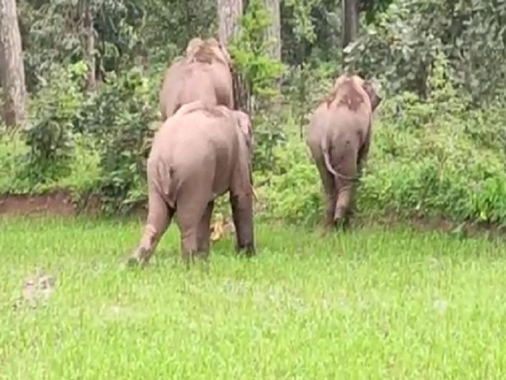 बुधवार सुबह हाथियों को जंगलों की ओर खदेड़ा गया है।