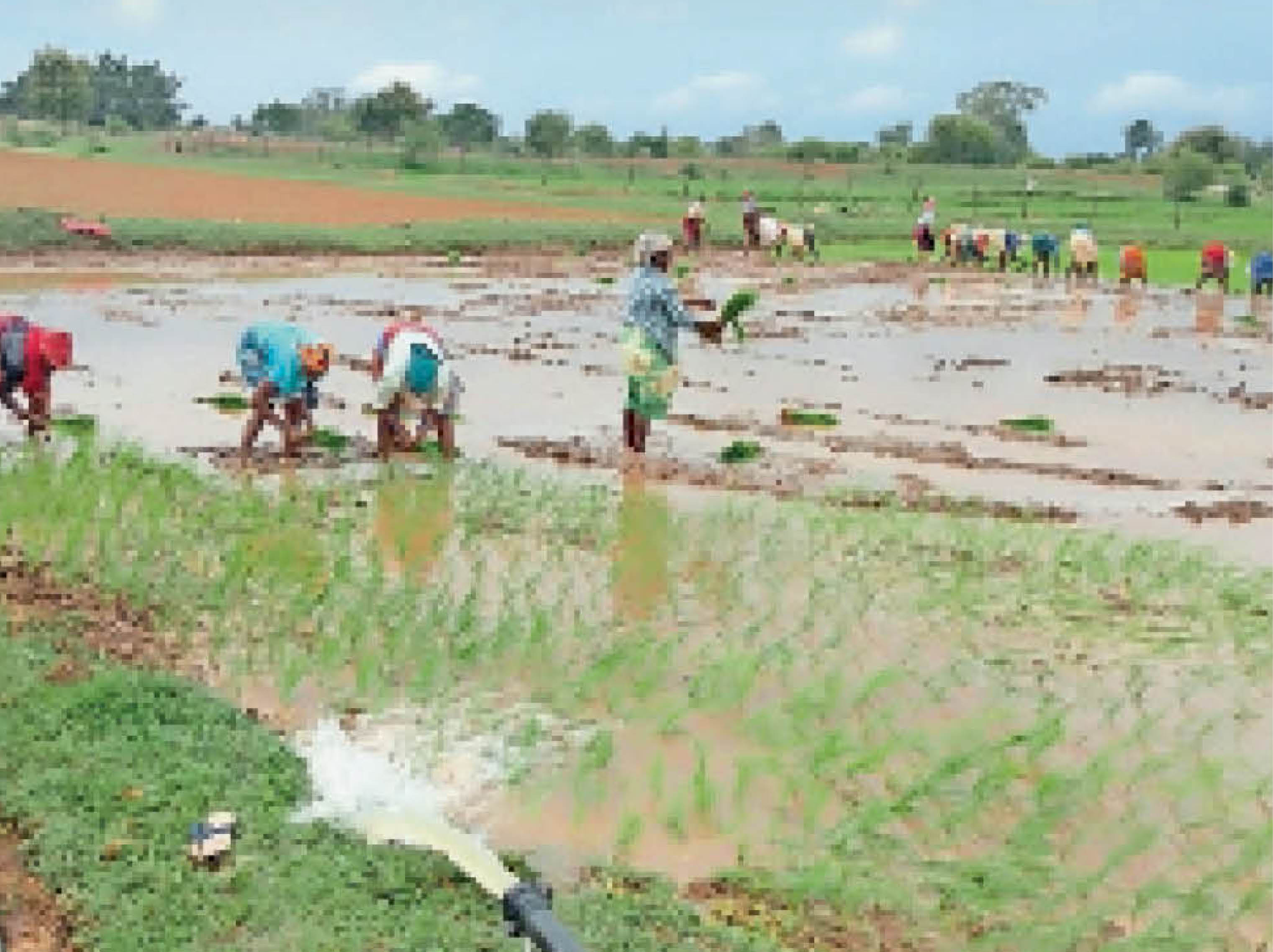 बोरई के किसान झबेन्द्र भूषण के खेत की यह तस्वीर है। यहां कृषि पम्प से पानी लेकर रोपाई हो रही है। इसके ठीक बाजू के अन्य खेत पूरी तरह से सूख हुए हैं, जो बारिश के पानी पर निर्भर हैं। - Dainik Bhaskar