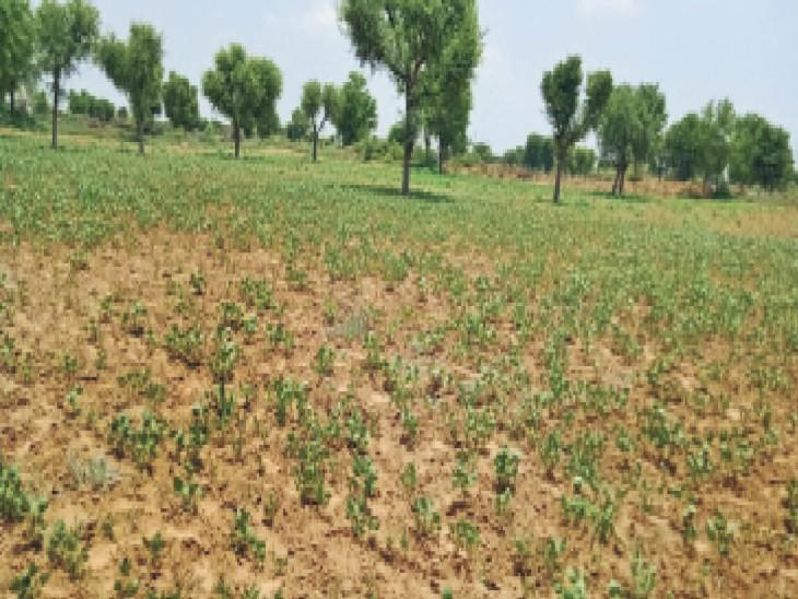 मेड़ता क्षेत्र में बारिश के अभाव में खेतों में खड़ी फसल सूखने के कगार पर। - Dainik Bhaskar
