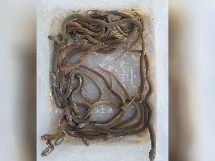 मकान का कंसट्रक्शन चल रहा था, पत्थर हटाया तो निकले कोबरा के 18 बच्चे, सभी को जंगल में छोड़ा|जबलपुर,Jabalpur - Dainik Bhaskar