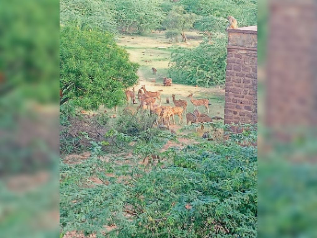 धाैलपुर. वन विहार काेठी में घूमते चीतल, माेर और बंदर। - Dainik Bhaskar
