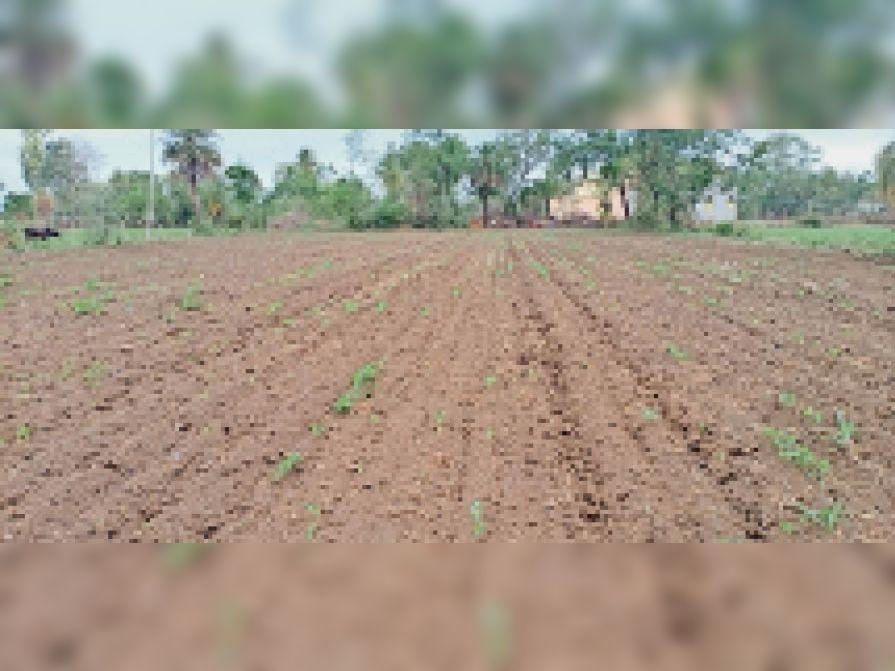 भादवामाता क्षेत्र में बारिश नहीं होने से बीच अंकुरित ही नहीं हो पाए। - Dainik Bhaskar