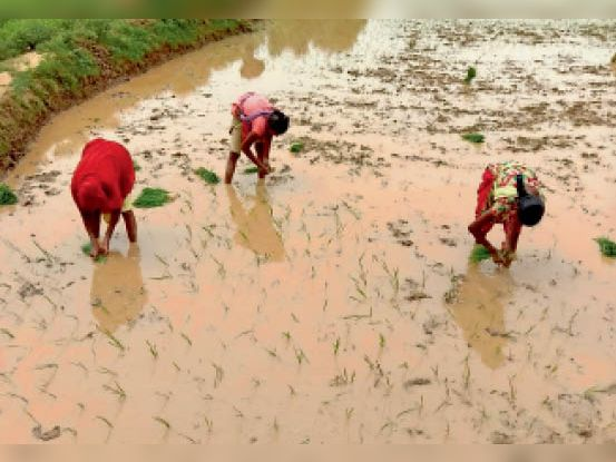 धान की रोपनी करते किसान। - Dainik Bhaskar