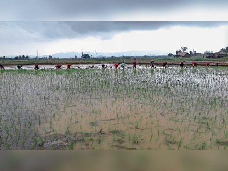चानन के खेत में धान की बुआई करती महिलाएं। - Dainik Bhaskar