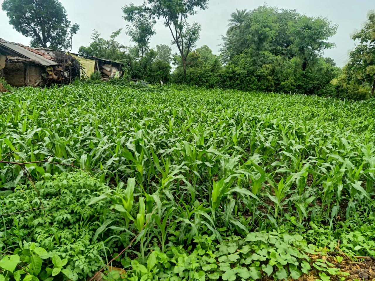 48 घंटों में दर्ज की गई 40.5 मिमी बारिश, खेतों में सूख रही फसलों को मिली संजीवनी,तामिया में टूटा रिकार्ड|छिंदवाड़ा,Chhindwara - Dainik Bhaskar