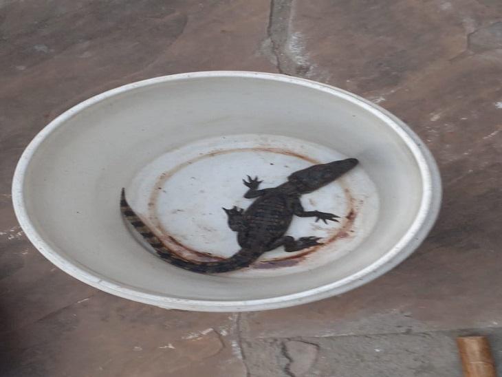 कमरे से बाहर निकले तो आंगन में बैठा था मगरमच्छ का बच्चा, बचते हुए छत पर भागा, लोगोंं ने बाल्टी में किया बंद|सवाई माधोपुर,Sawai Madhopur - Dainik Bhaskar