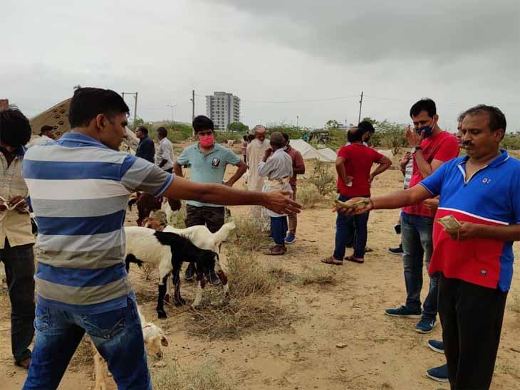 जोधपुर में चोखा गांव में लगने वाली बकरा मंडी से बकरा खरीदते जैन समाज के लोग। - Dainik Bhaskar