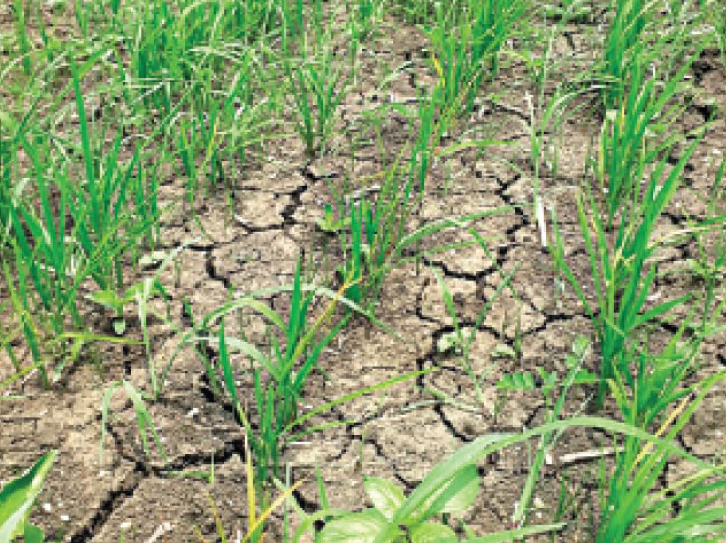जून में बोवनी के बाद खेतों में ऐसी दरारें आ गई थीं - Dainik Bhaskar