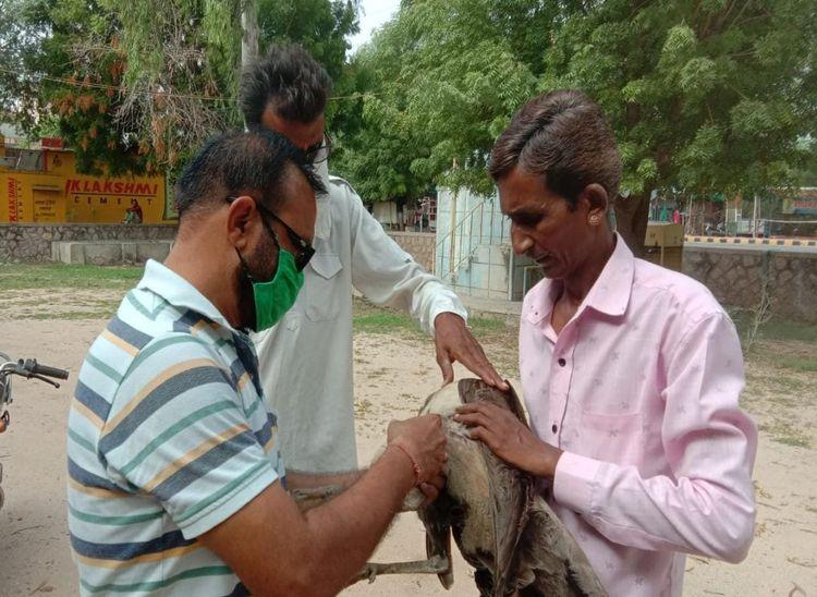 रासायनयुक्त बीज को चुगने से पक्षियों कीमौत की संभावना, पशु चिकित्सक मौके पर पहुंचे; ग्रामीण भी जुटे|पाली,Pali - Dainik Bhaskar