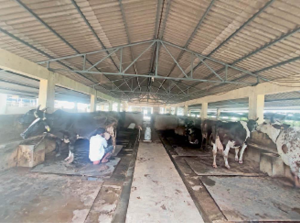 गौसेवा के बजट में कटौती, गाय गोद लेने वाले 3000 से घटकर 1500 हुए गुजरात,Gujarat - Dainik Bhaskar