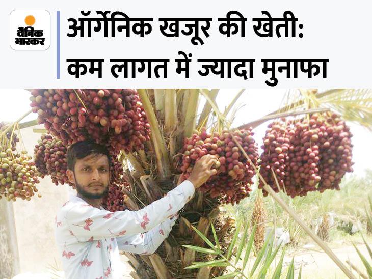 गुजरात के किसान ने बंजर जमीन पर 10 साल पहले ऑर्गेनिक खजूर लगाए, अब हर साल 35 लाख रुपए की कमाई|DB ओरिजिनल,DB Original - Dainik Bhaskar