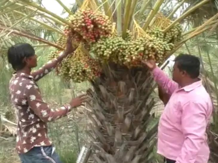 खजूर के हर एक पेड़ से 70 से 80 किलो खजूर का प्रोडक्शन होता है। जो मार्केट में 400 रुपए किलो के हिसाब से बिकता है।