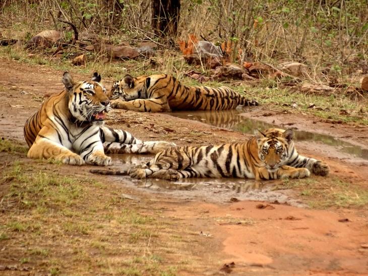 मध्यप्रदेश के पन्ना टाइगर रिजर्व में आराम करते बाघ।