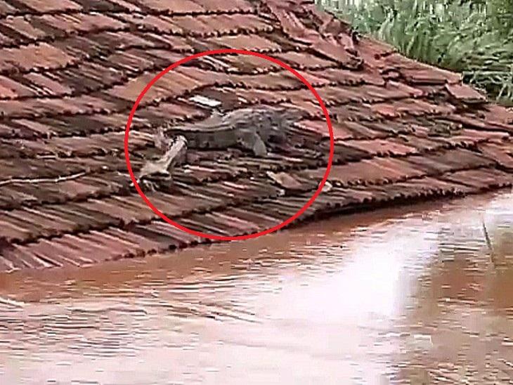 महाराष्ट्र के सांगली में घर की छत पर दिखा मगरमच्छ, सड़कों पर भी घूमते नजर आए महाराष्ट्र,Maharashtra - Dainik Bhaskar