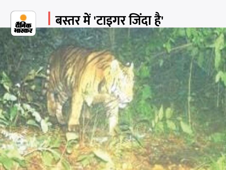 बीजापुर के गांवों में सुनाई देती है दहाड़, ITR में 5 बाघ हुए कैमरे में कैद; अफसर बोले- लोकेशन नहीं बताएंगे, शिकारियों से खतरा है जगदलपुर,Jagdalpur - Dainik Bhaskar