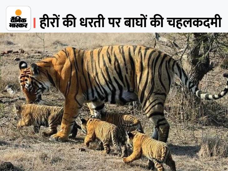 पन्ना टाइगर रिजर्व में एक समय खत्म हो गए थे बाघ, 2009 में 1 बाघ और 2 बाघिन दूसरी जगह से लाए; अब संख्या 70 के पार सागर,Sagar - Dainik Bhaskar