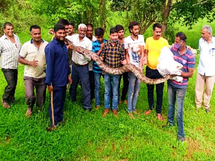 15 फीट लंबे अजगर ने सियार को जकड़ा, गांव के लोगों ने पत्थर मारकर छुड़ाने की कोशिश की; 2 घंटे बाद जंगल में छोड़ा गया|उदयपुर,Udaipur - Dainik Bhaskar