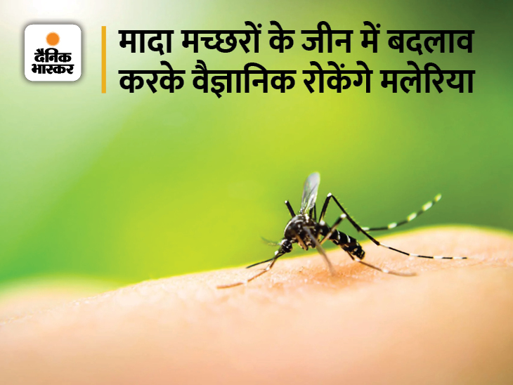 मादा मच्छर को बांझ बनाकर दुनियाभर में मलेरिया का खात्मा करेंगे वैज्ञानिक, रिसर्च के दौरान 560 दिन में घटी मच्छरों की संख्या|लाइफ & साइंस,Happy Life - Dainik Bhaskar