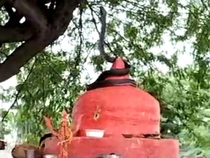 पुजारी और श्रद्धालु मंदिर पहुंचे तो चौंक गए, देखते ही देखते लग गई भीड़; श्रद्धालुओं ने सांप के सामने रखा दूध, 4 घंटे बैठा रहा|नागौर,Nagaur - Dainik Bhaskar