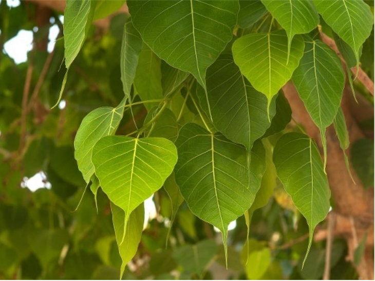 हरियाली अमावस्या 8 को, पूजा-पाठ के साथ ही किसी सावर्जनिक जगह पर लगाएं पीपल या नीम का पौधा|धर्म,Dharm - Dainik Bhaskar