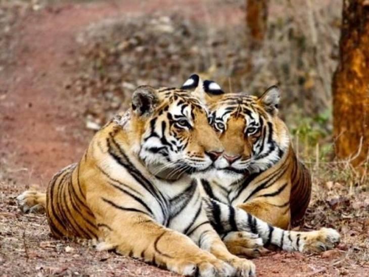 पन्ना रिजर्व पार्क के दोनों बाघ 20 महीने साथ-साथ रहे, अब साम्राज्य खड़ा करने के लिए हो गए अलग|जबलपुर,Jabalpur - Dainik Bhaskar