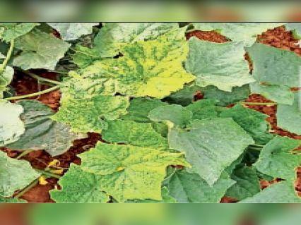 मोजेक रोग से ग्रसित सब्जी के पौधे। - Dainik Bhaskar