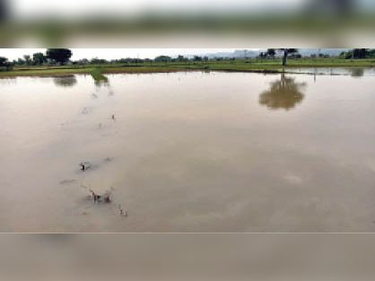 चौथ का बरवाड़ा   तेज बारिश के चलते खेतों में भरा पानी। - Dainik Bhaskar