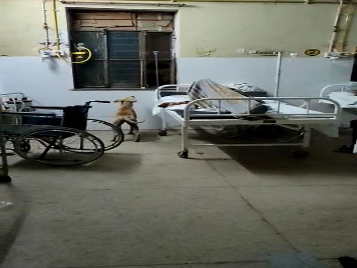 आवारा कुत्ते रातभर वार्डों में करते हैं धमाचौकड़ी, मरीजों के खाने पीने के सामान को कर जाते हैं चट|सवाई माधोपुर,Sawai Madhopur - Dainik Bhaskar