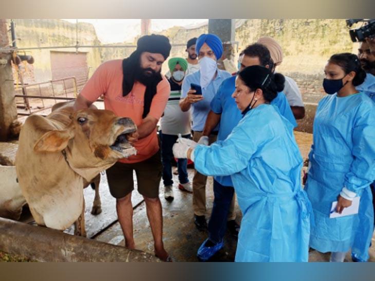लुधियाना जिले के गांव पायल में पशुओ को मुंह-खुर की बीमारी के चलते उपचार करने पहुंची टीम। - Dainik Bhaskar