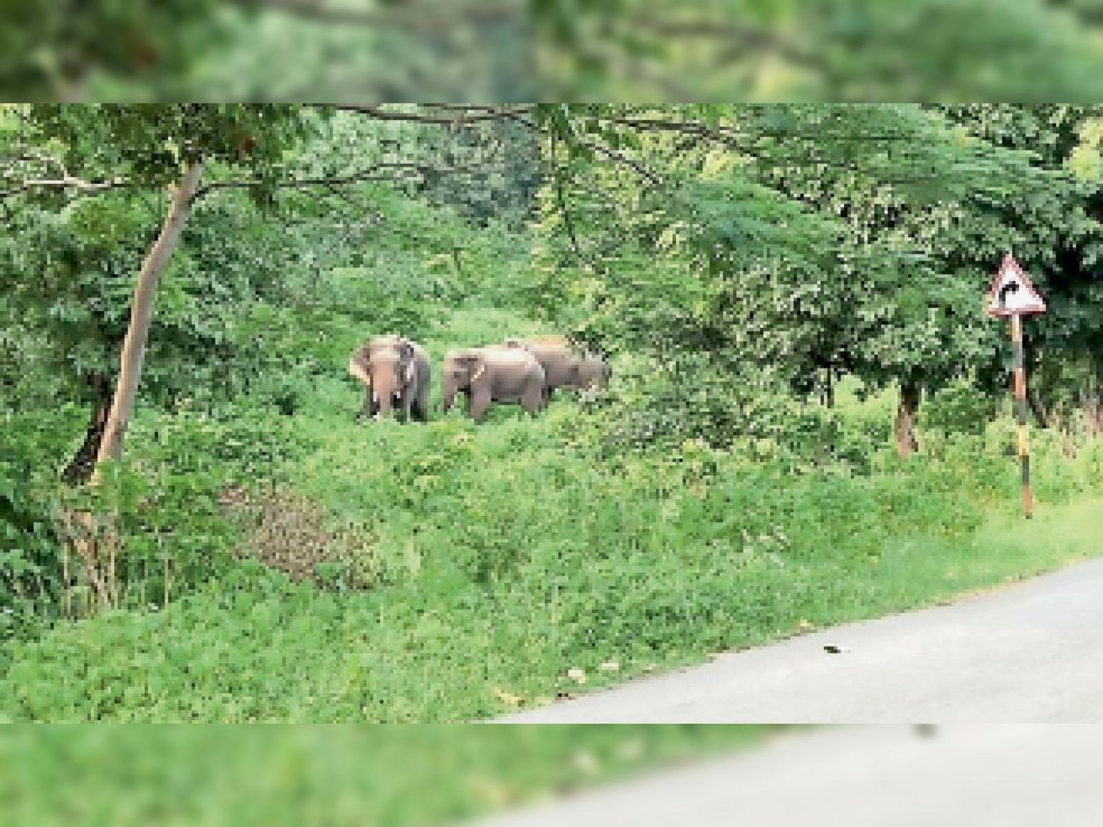 शुक्रवार दोपहर 12 बजे 3 दंतैल हाथी गंगरेल डुबान हरफर के कक्ष क्रमांक 185 में सड़क किनारे घूमते रहे। - Dainik Bhaskar