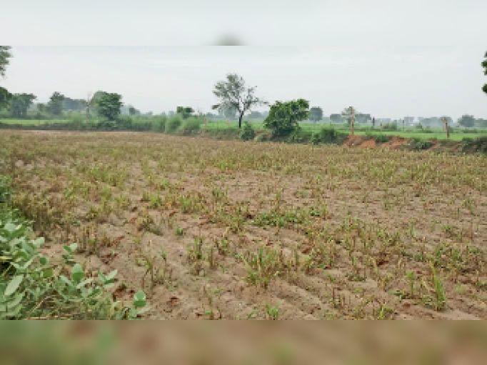 सैंपऊ. बाढ़ के पानी में डूबने से बर्बाद हुई बाजरे की फसल। - Dainik Bhaskar