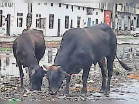 रादौर|अनाज मंडी में जमा गंदा पानी व बेसहारा पशु। - Dainik Bhaskar